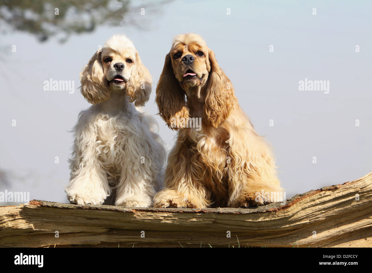 Dog American Cocker Spaniel Adults Different Colors Cream