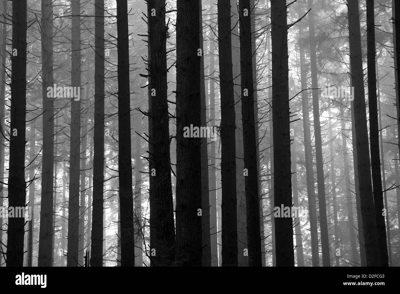 Black and White image of trees in a rain forest on a foggy morning, Canada - Stock Image