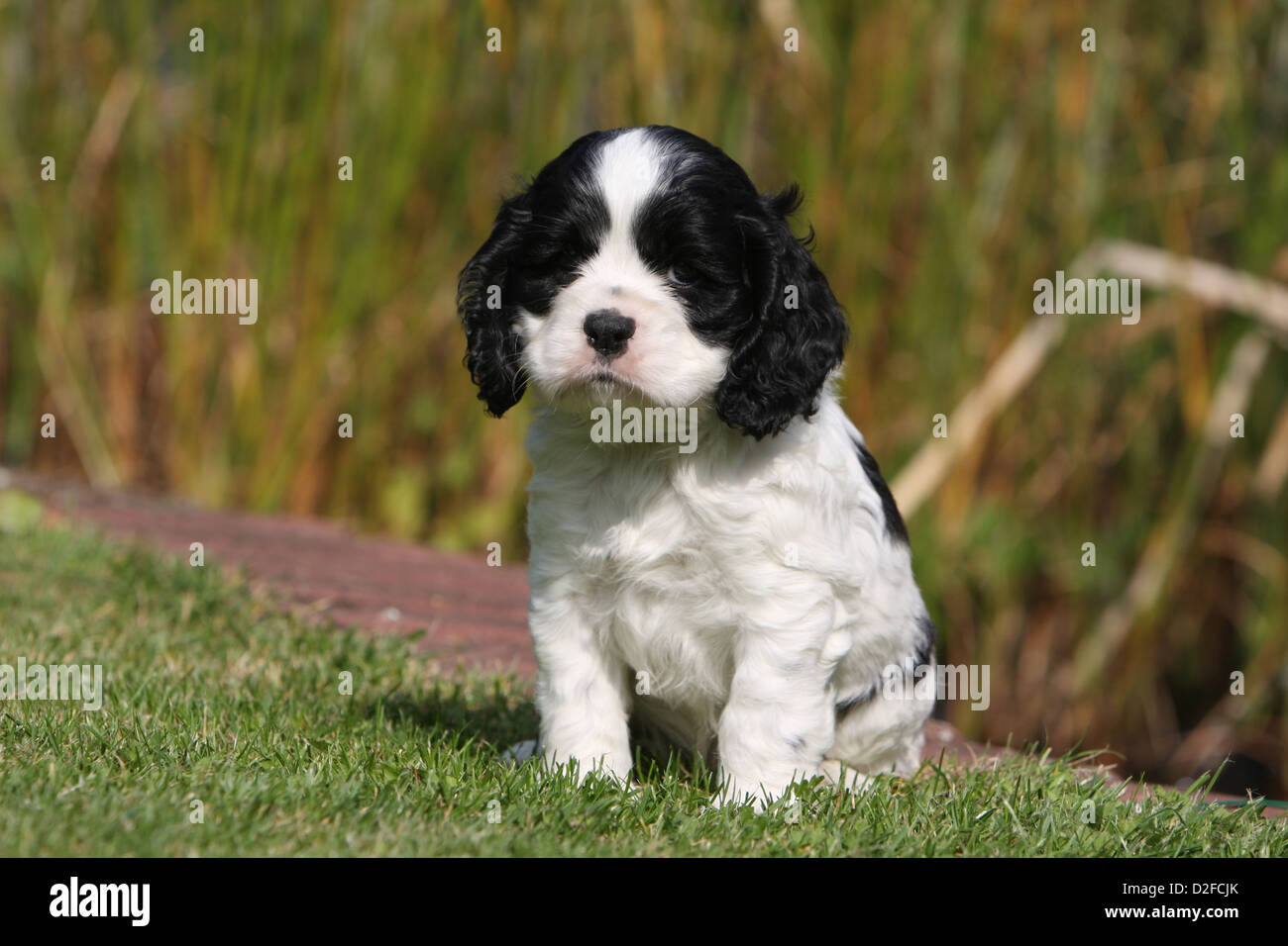 Dog American Cocker Spaniel Puppy Black And White Sitting In A Stock Photo Alamy