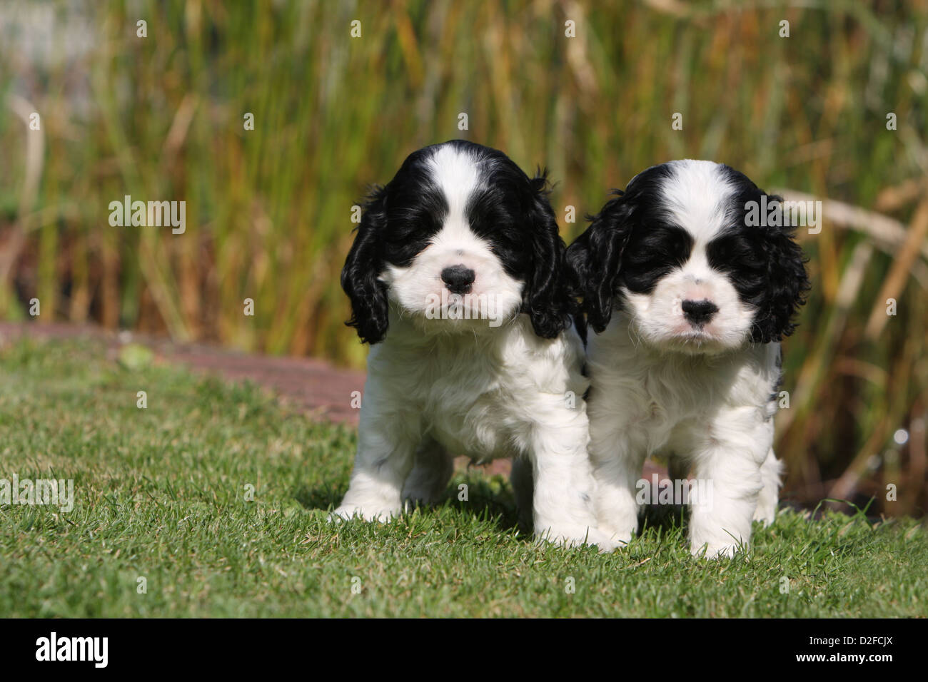 Dog American Cocker Spaniel Two Puppies Black And White Standing On Stock Photo Alamy