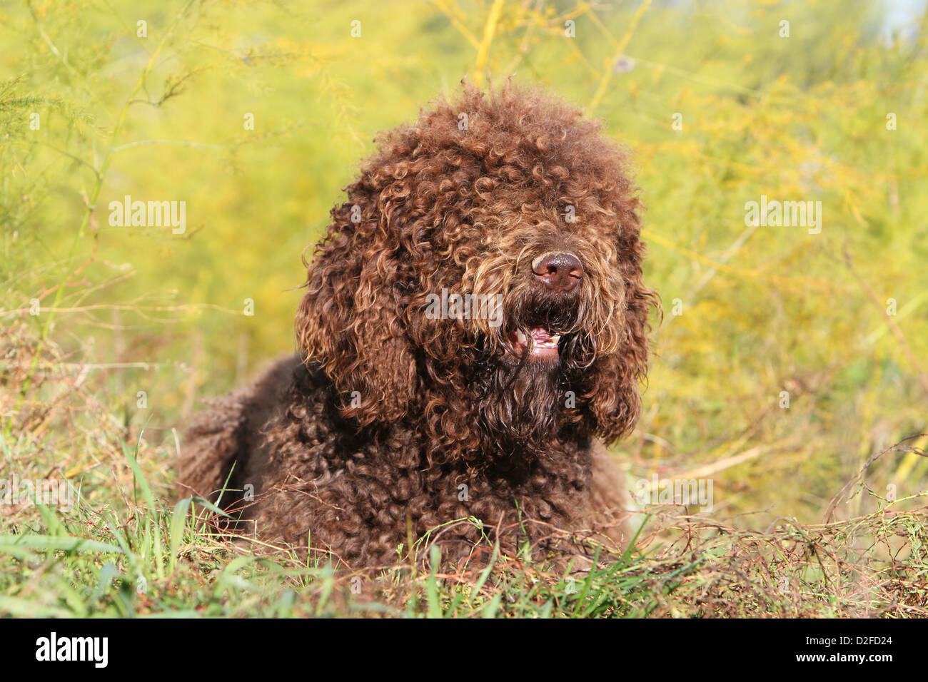 Dog Barbet / French Water Dog adult lying in a meadow Stock Photo