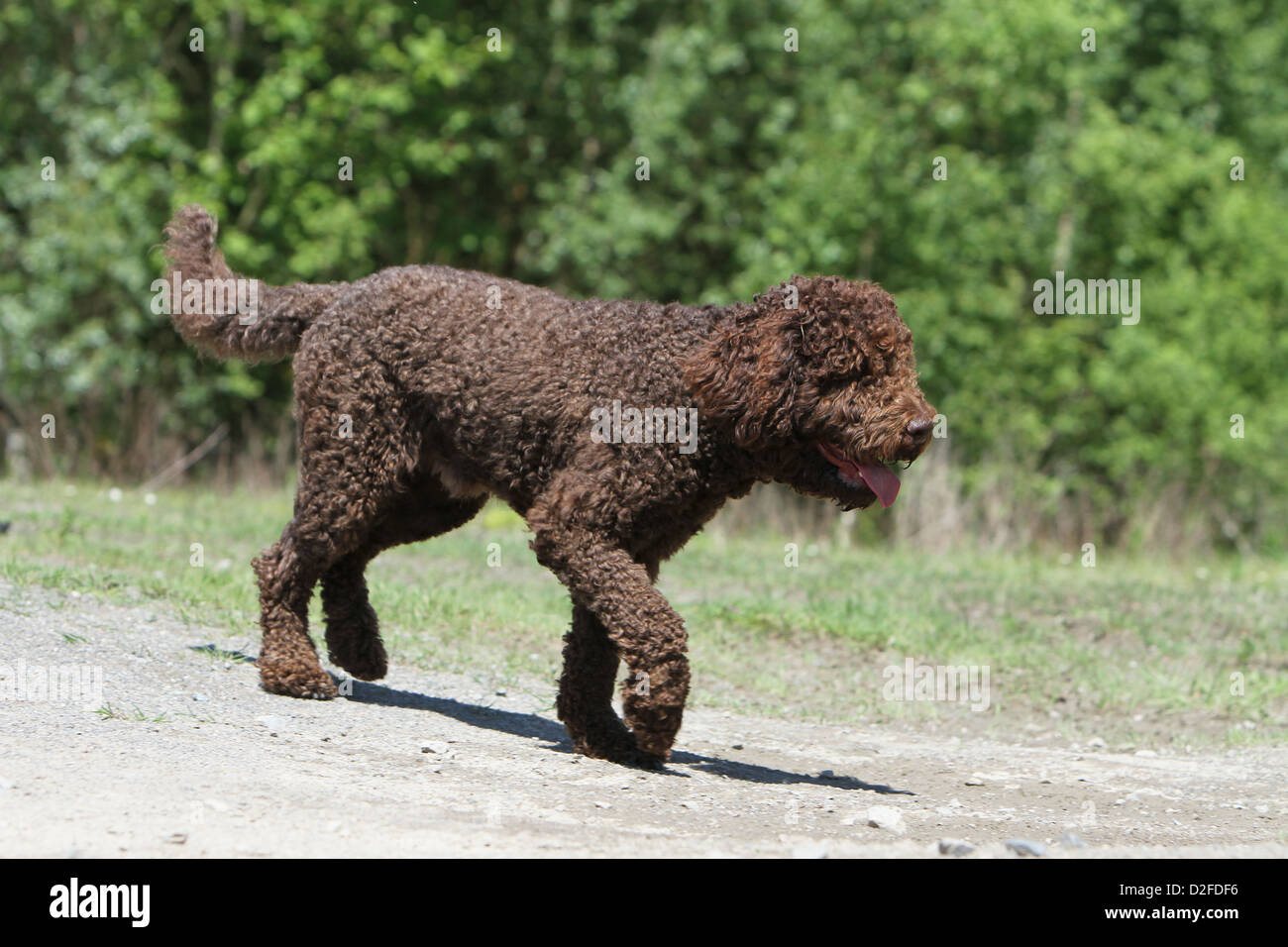 Dog Barbet / French Water Dog adult walking on the ground Stock Photo