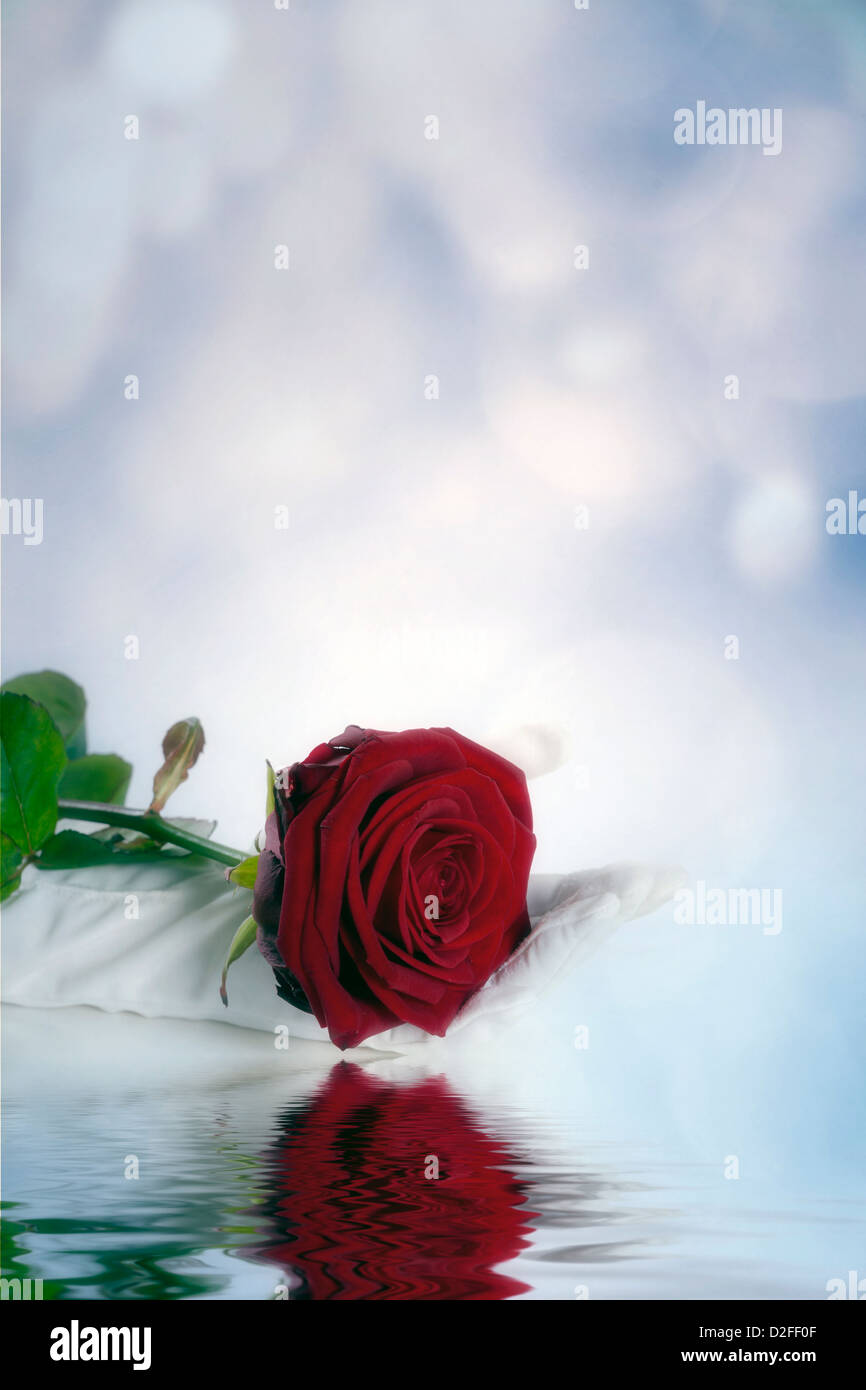 a hand in white gloves is holding a red rose - Stock Image