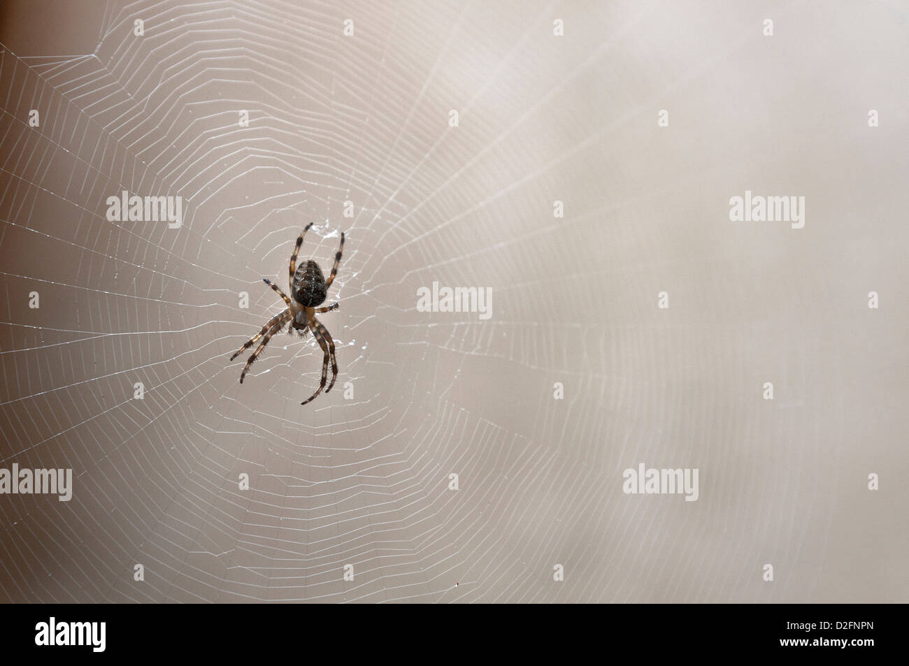 Common garden spider on its spider web, UK - Stock Image