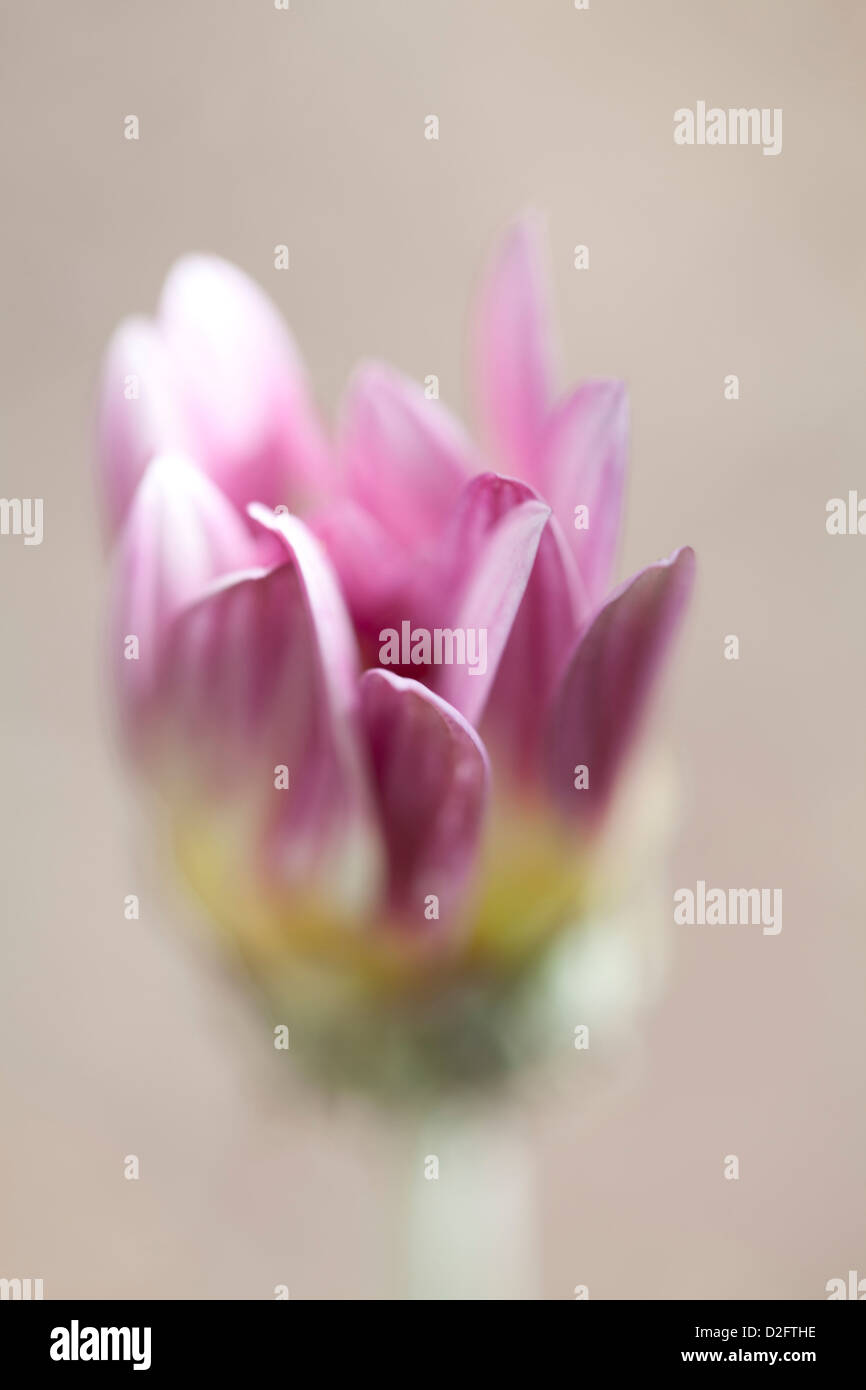 A pink Gazania daisy in soft focus - Stock Image