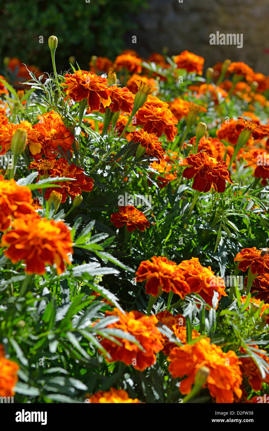 Orange carnation flowers in garden in summer - Stock Image
