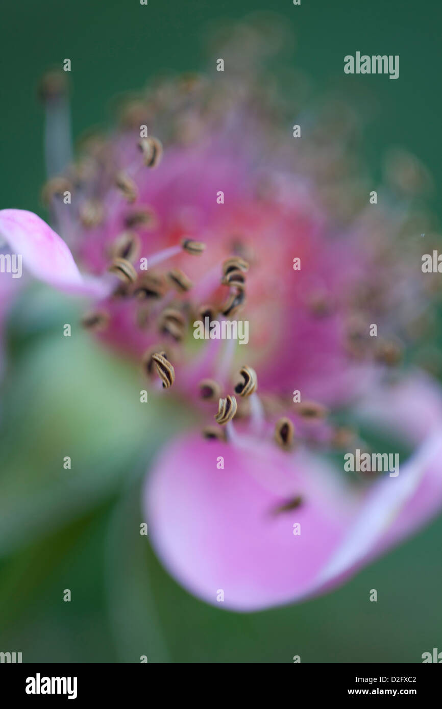 A dying pink rose flower with stamens and falling petals - Stock Image