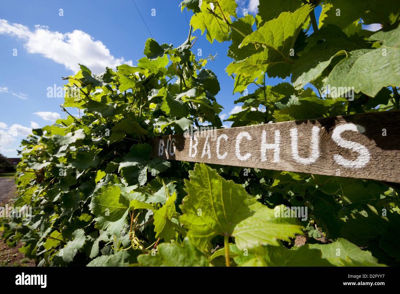 Bacchus vines at the Chapel Down Winery - Stock Image