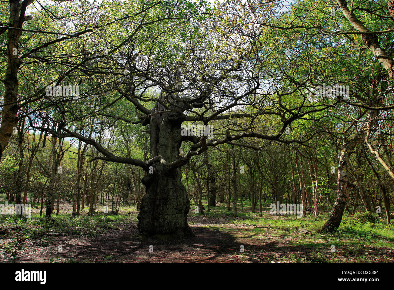 Ancient Great Oak Trees Quercus robur in Spring Green Woodland, Sherwood Forest SSSI, Nottinghamshire, England, Stock Photo