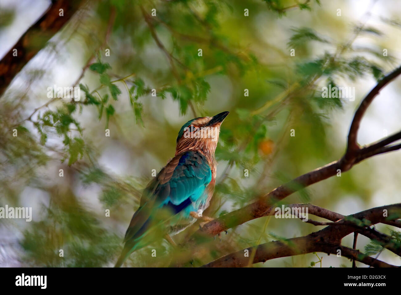 Indian Roller or Blue Jay - Stock Image