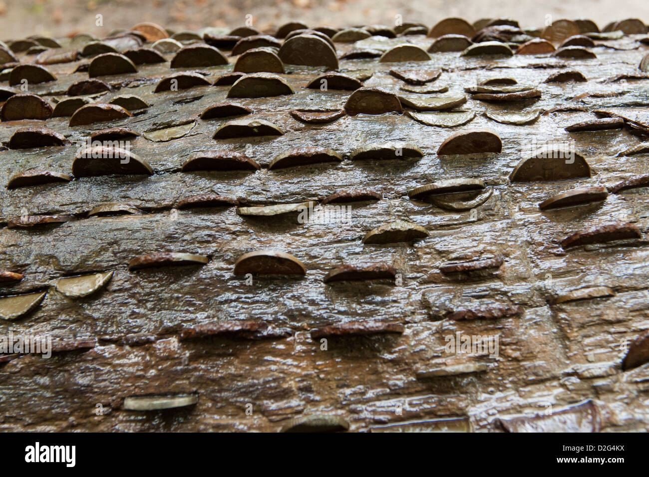 Money tree, copper coins embedded in a tree in woodland for good luck, Exmoor National Park, Somerset, England, - Stock Image
