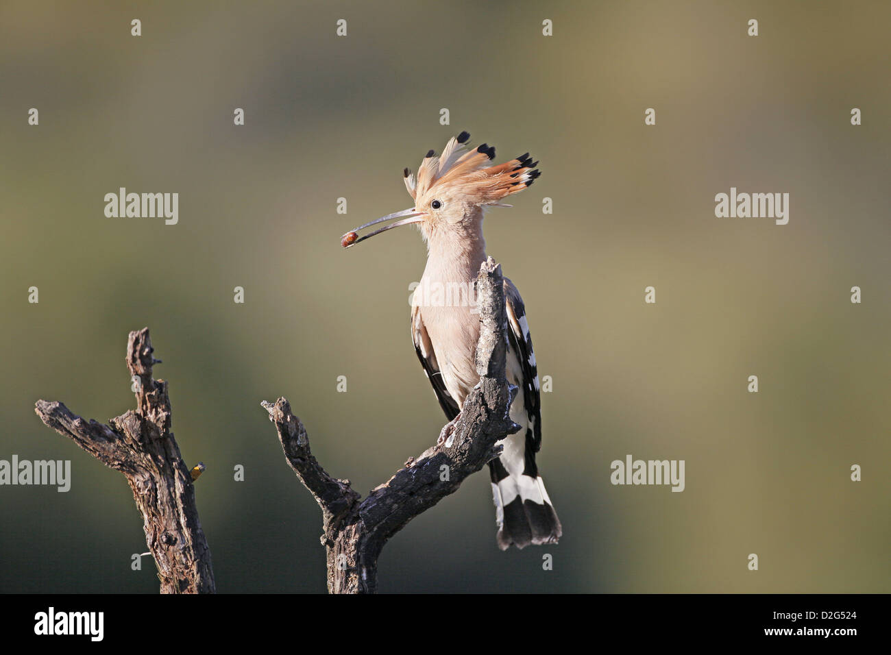 Hoopoe, Upupa epops with pupa prey for nestling - Stock Image
