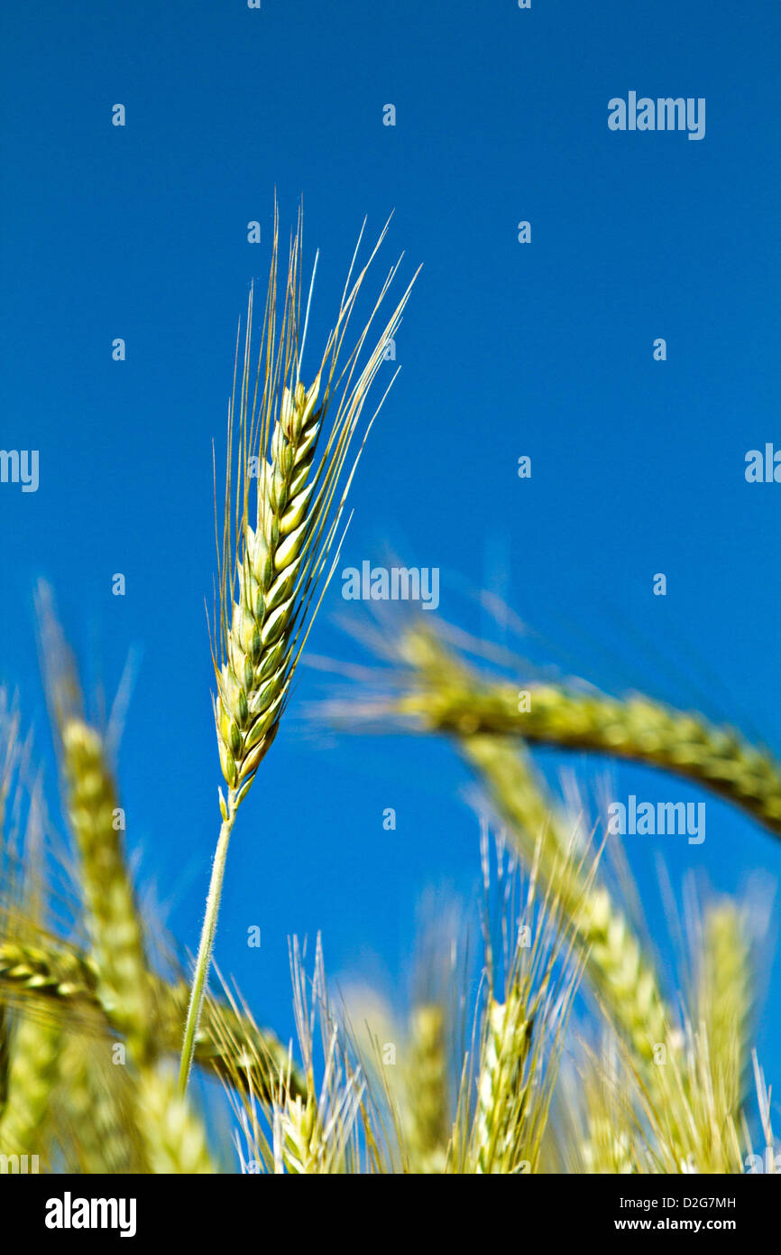 wheat ears (Triticum) - Stock Image
