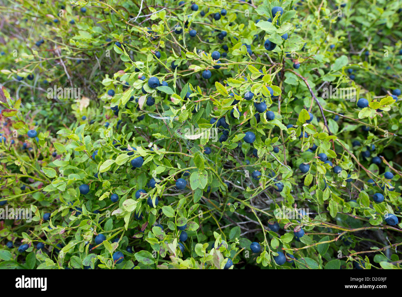 Wild blueberry underbrush with ripe blueberries (  Vaccinium myrtillus  ) , Finland - Stock Image