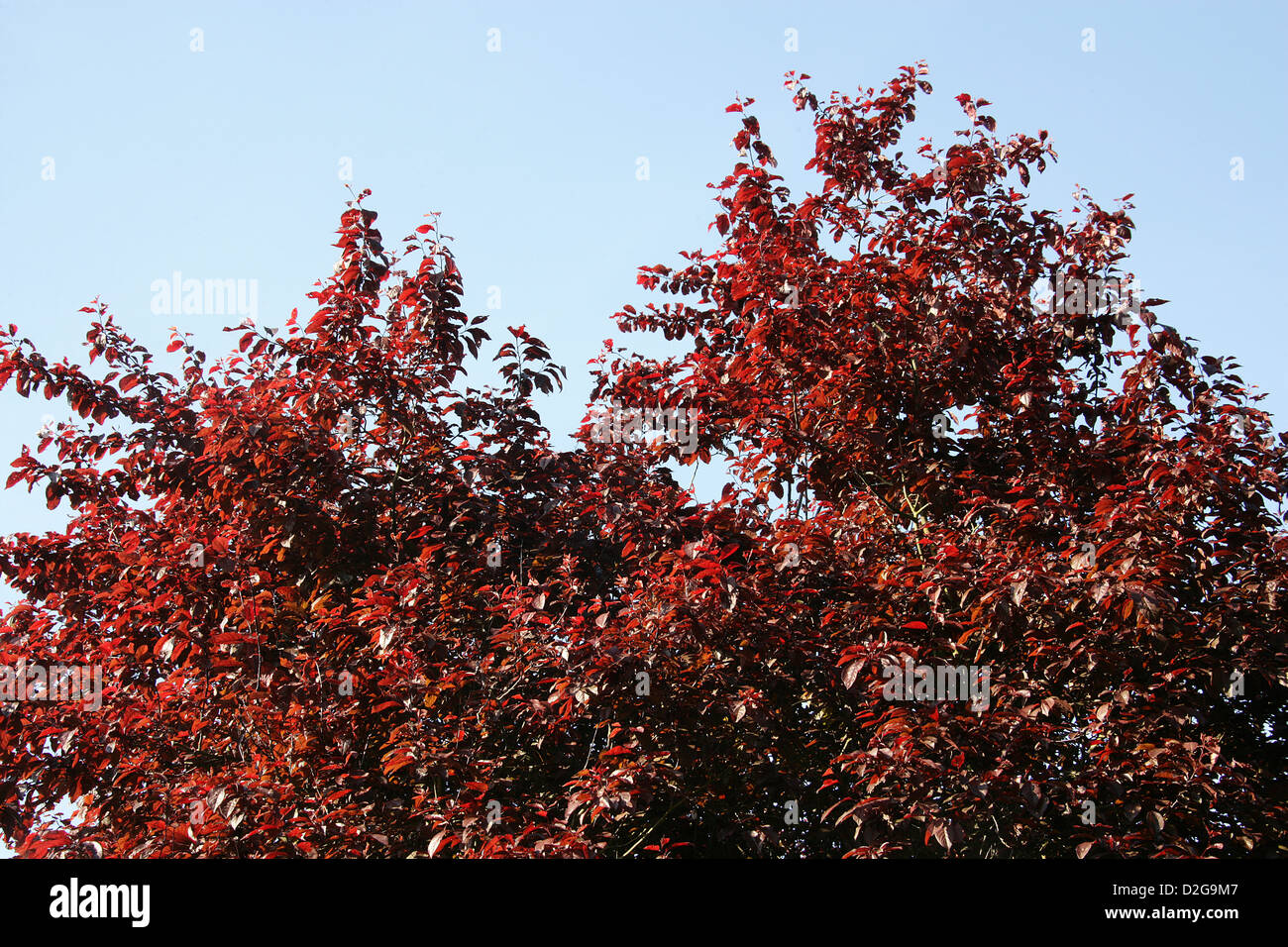 Copper Beech Tree, Fagus sylvatica, Fagaceae. - Stock Image