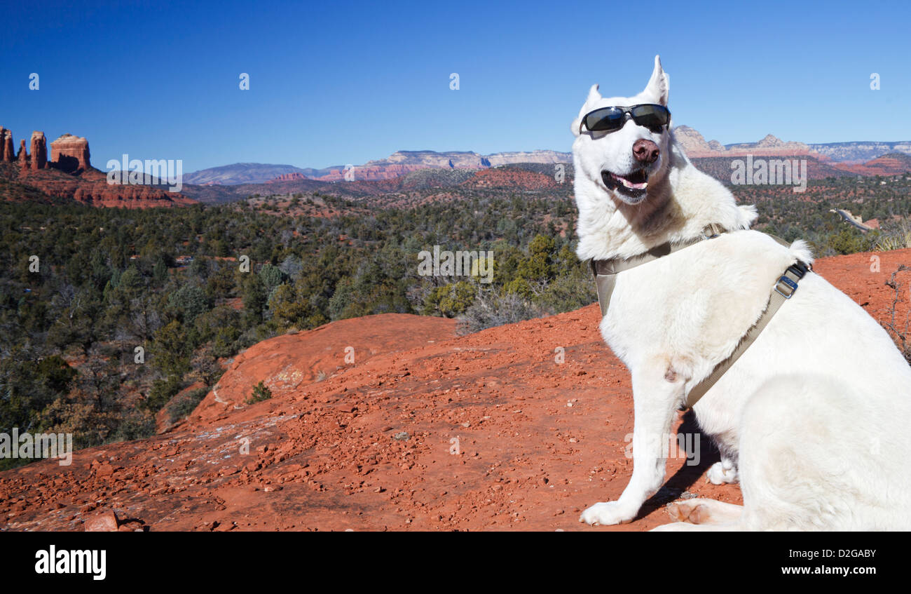 White German Shepherd at view point on Little Bell, with Cathedral Rock in Sedona in the distance - Stock Image