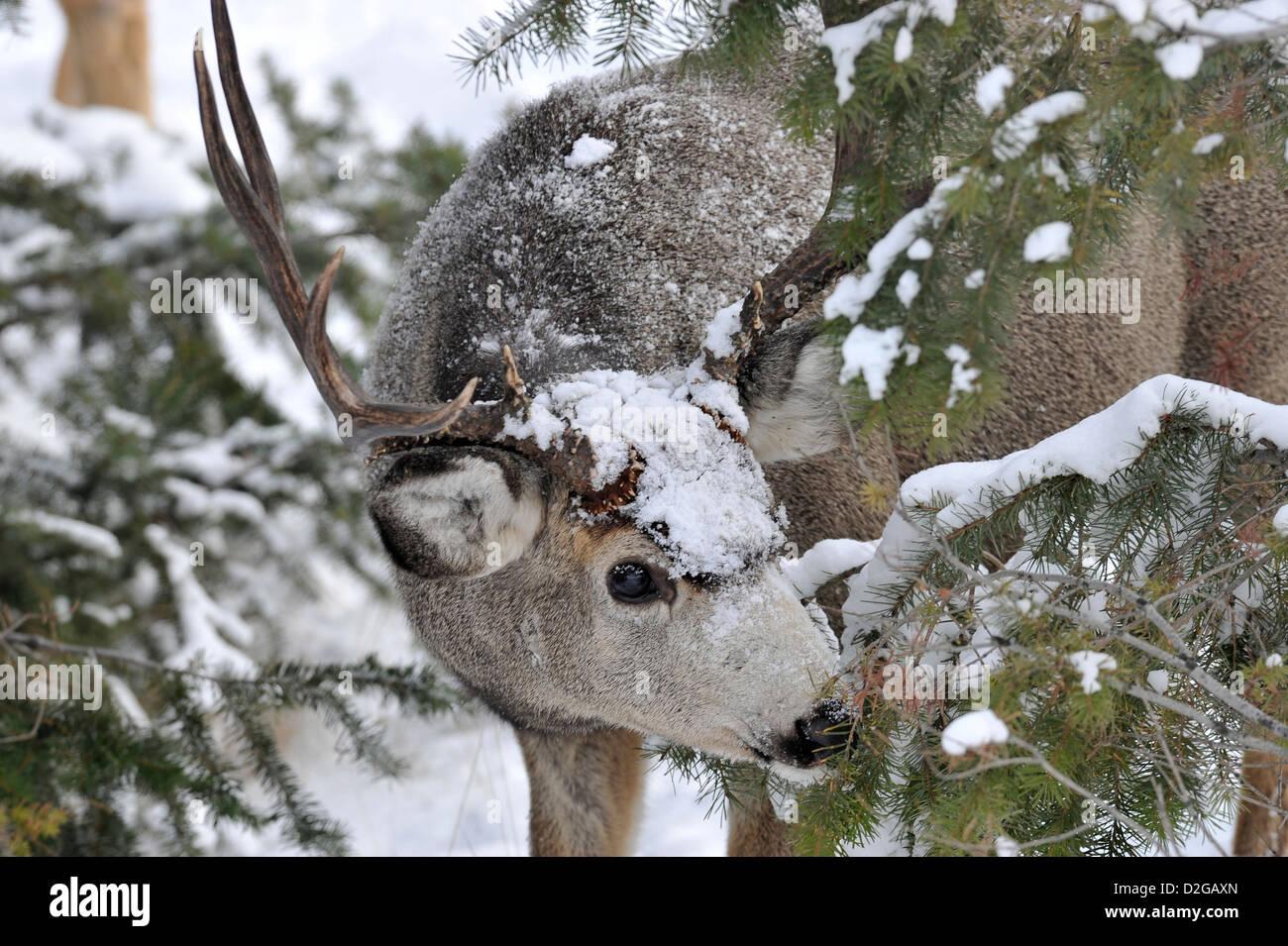 A mule deer buck peeking around some fir tree branches - Stock Image