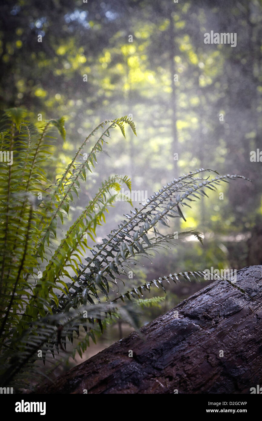 Pteridophta, ferns growing on the damp forest floor, and a damp log, misty rain covering everything with moisture - Stock Image