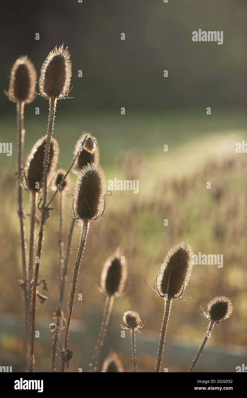 Seed heads of Teasel, Dipsacus fullonum, in late Autumn - Stock Image