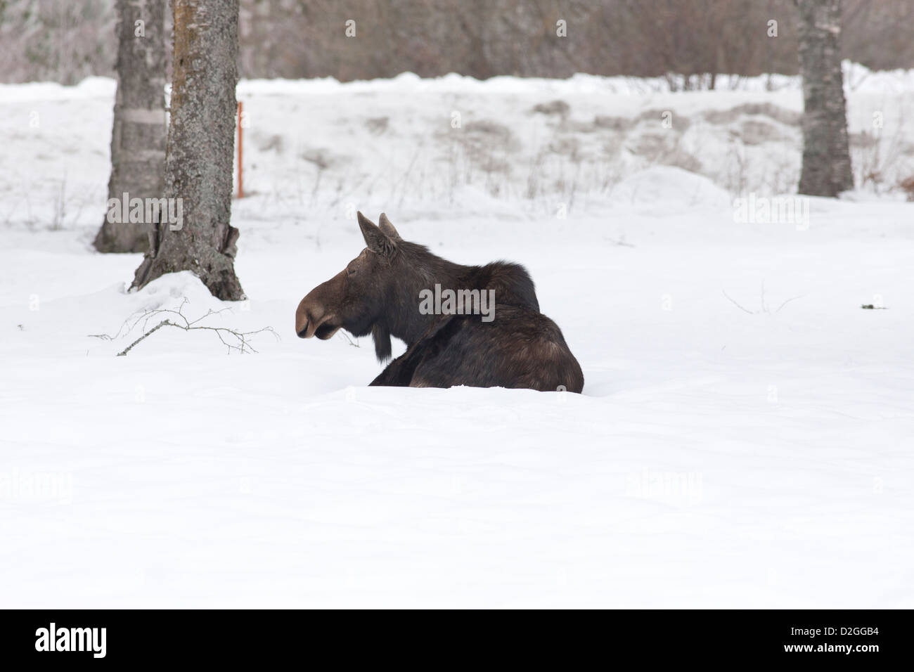 Moose at ease in snow. - Stock Image
