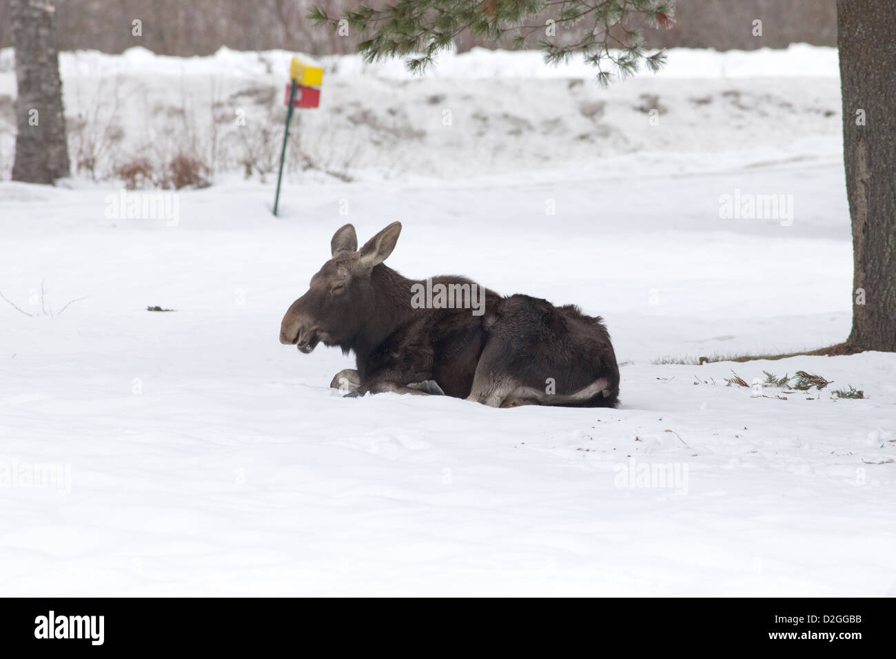 Moose relaxes in snow. - Stock Image