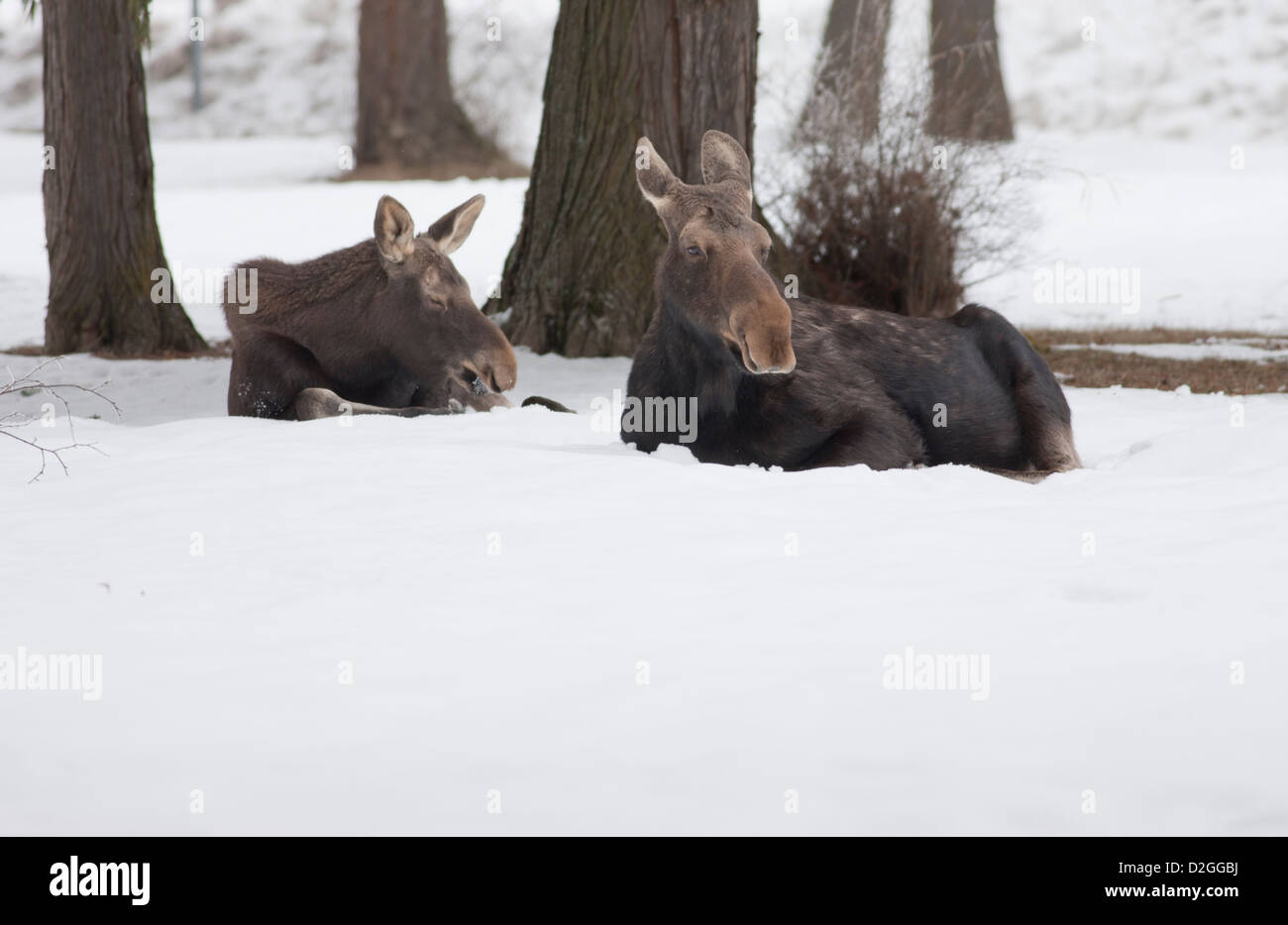 Moose lie in snow. - Stock Image