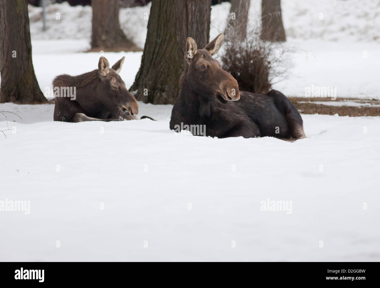 Two moose in the snow. - Stock Image