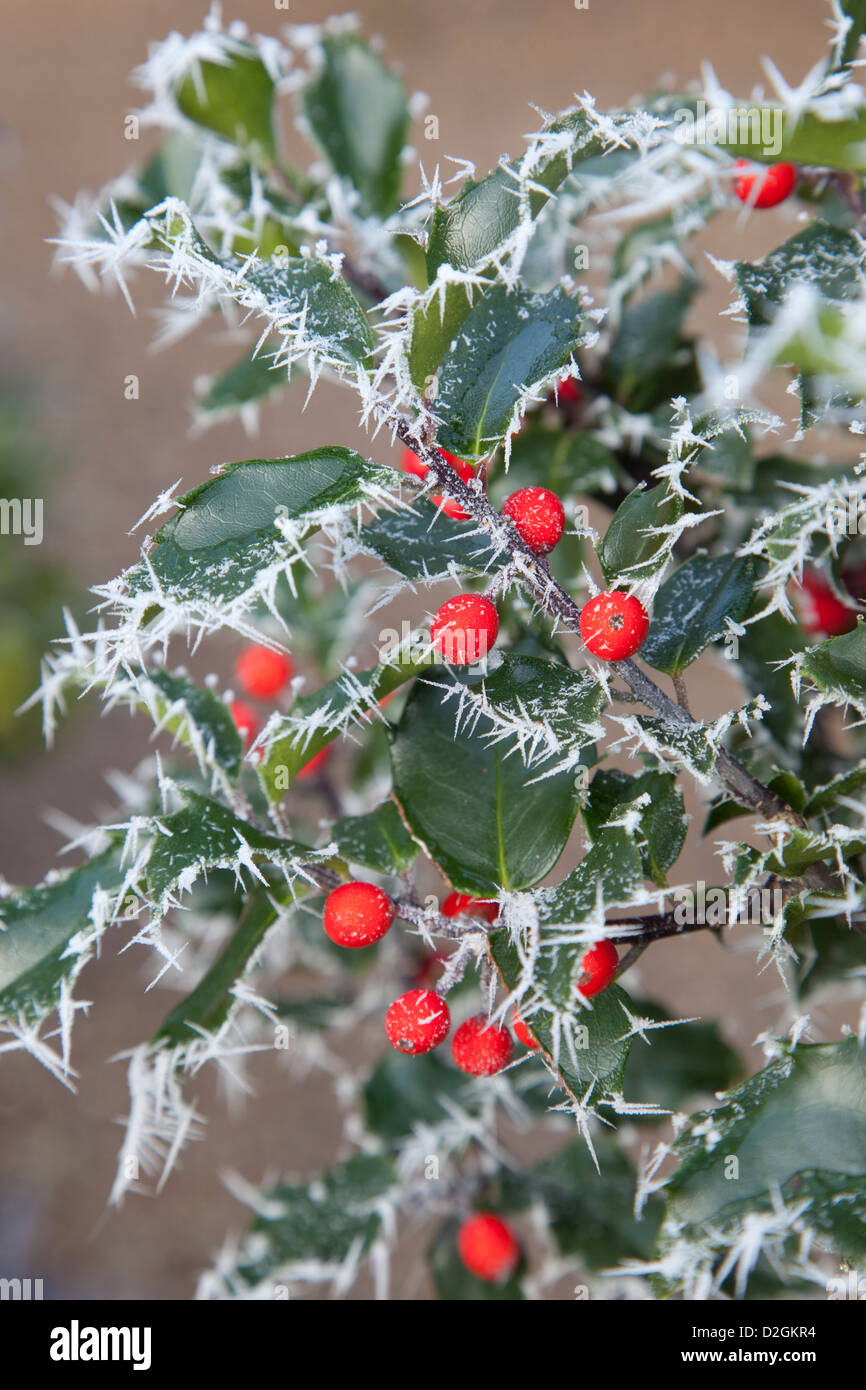 Evergreen Frosted Holly with berries - Stock Image