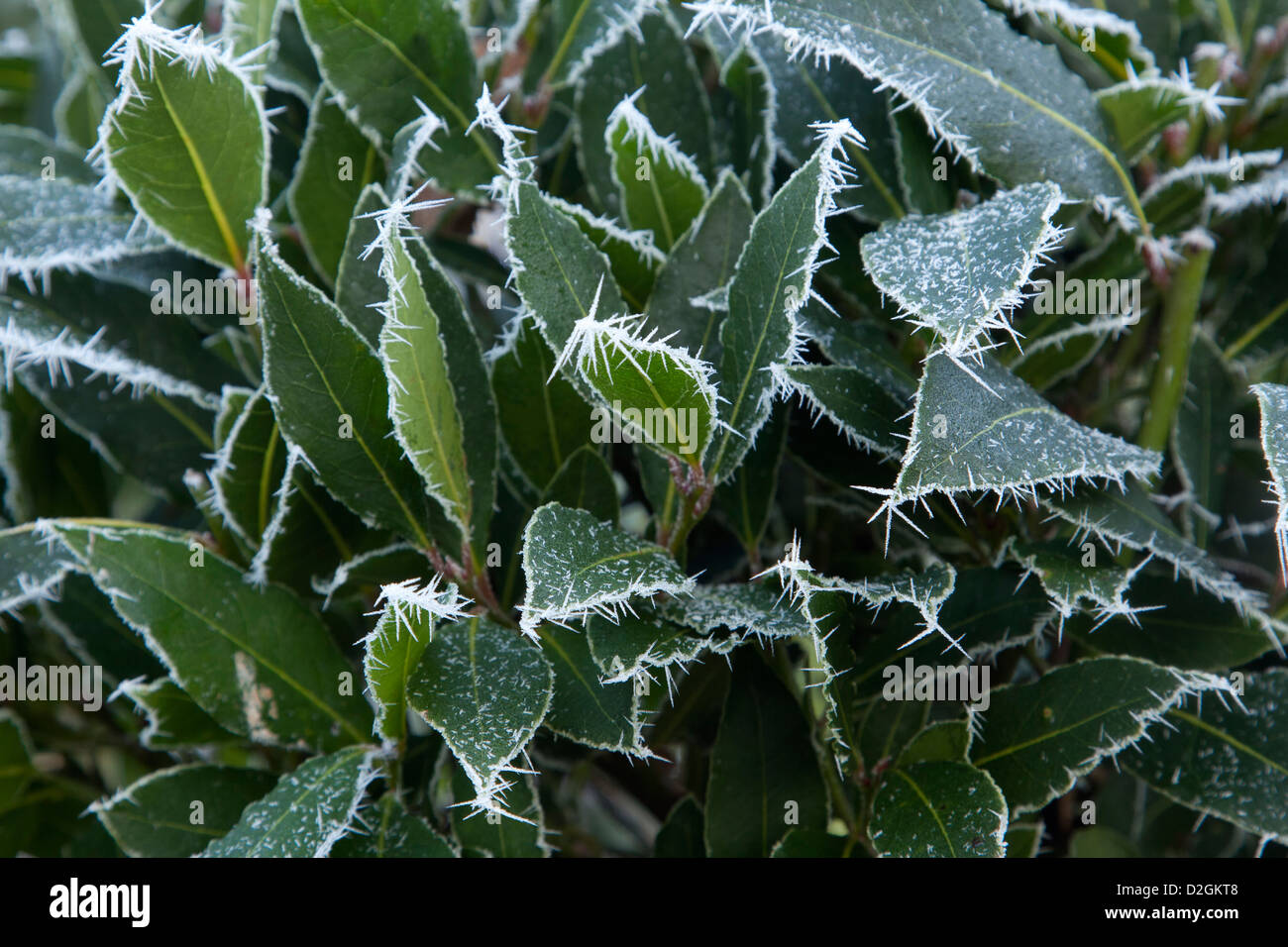 Evergreen Bay shrub in frost - Stock Image