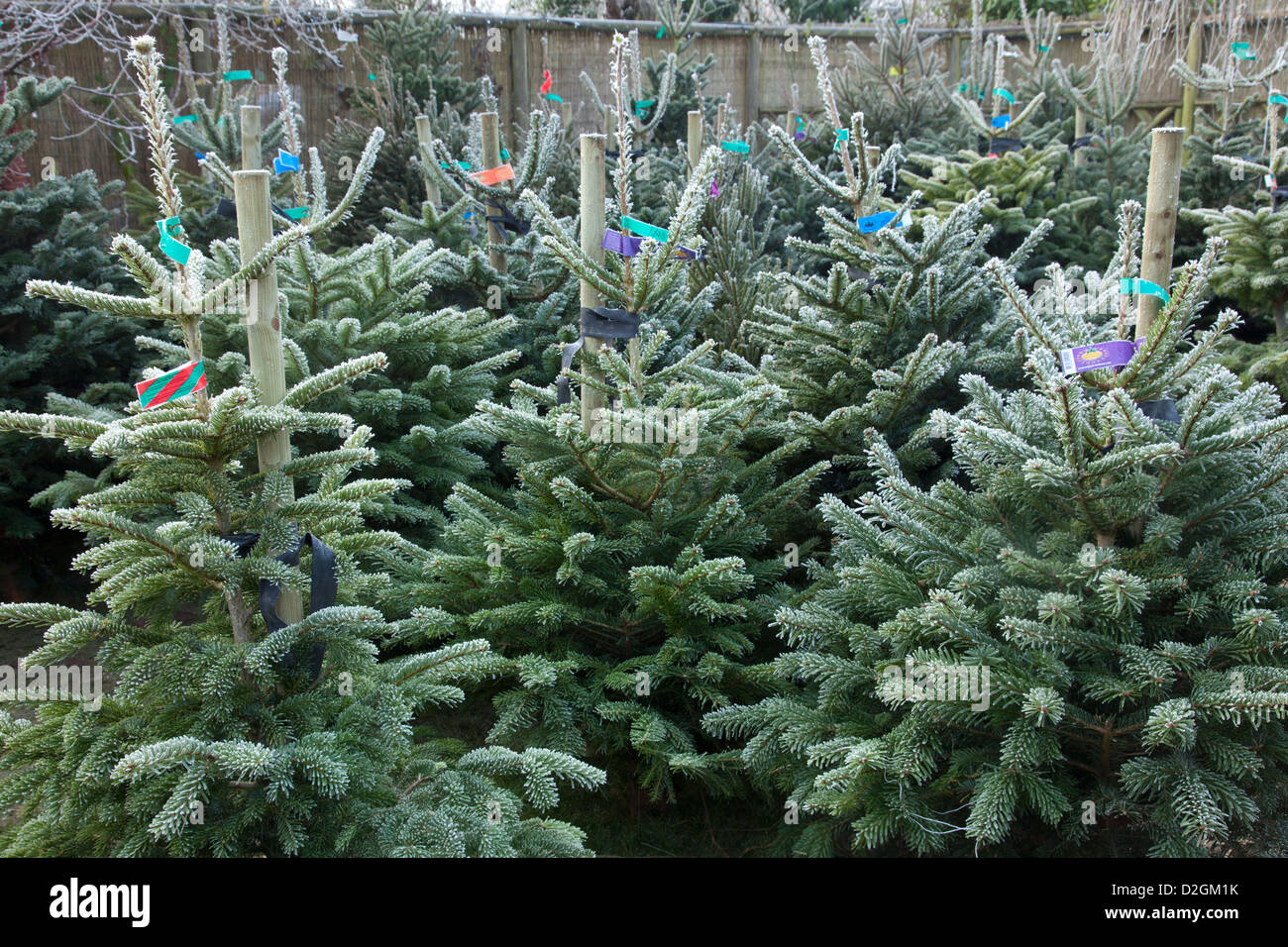 Christmas Trees For Sale.Frost On Conifer Christmas Trees Awaiting Sale In Garden