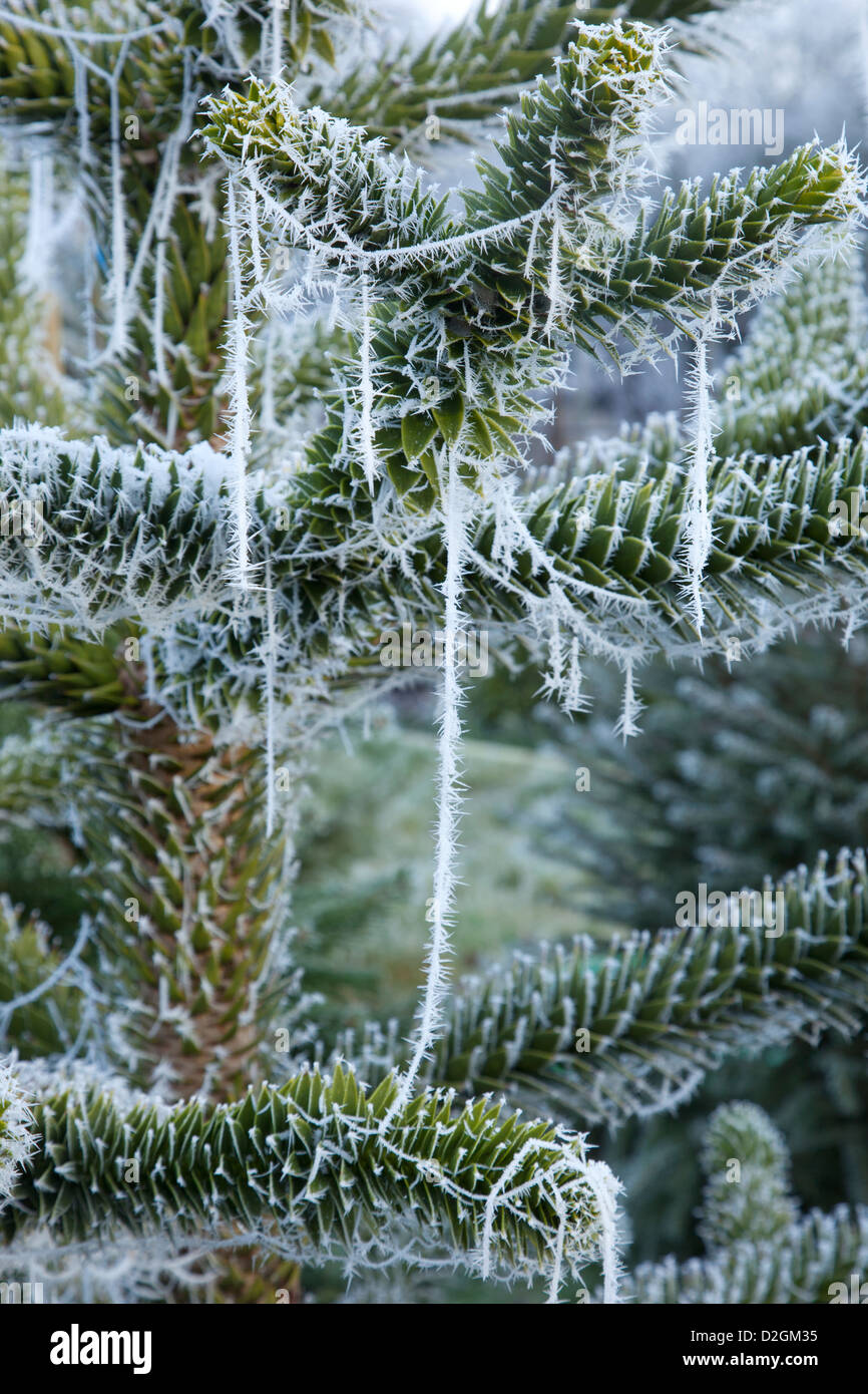 Close-up of frost and cobwebs on conifer Christmas tree - Stock Image