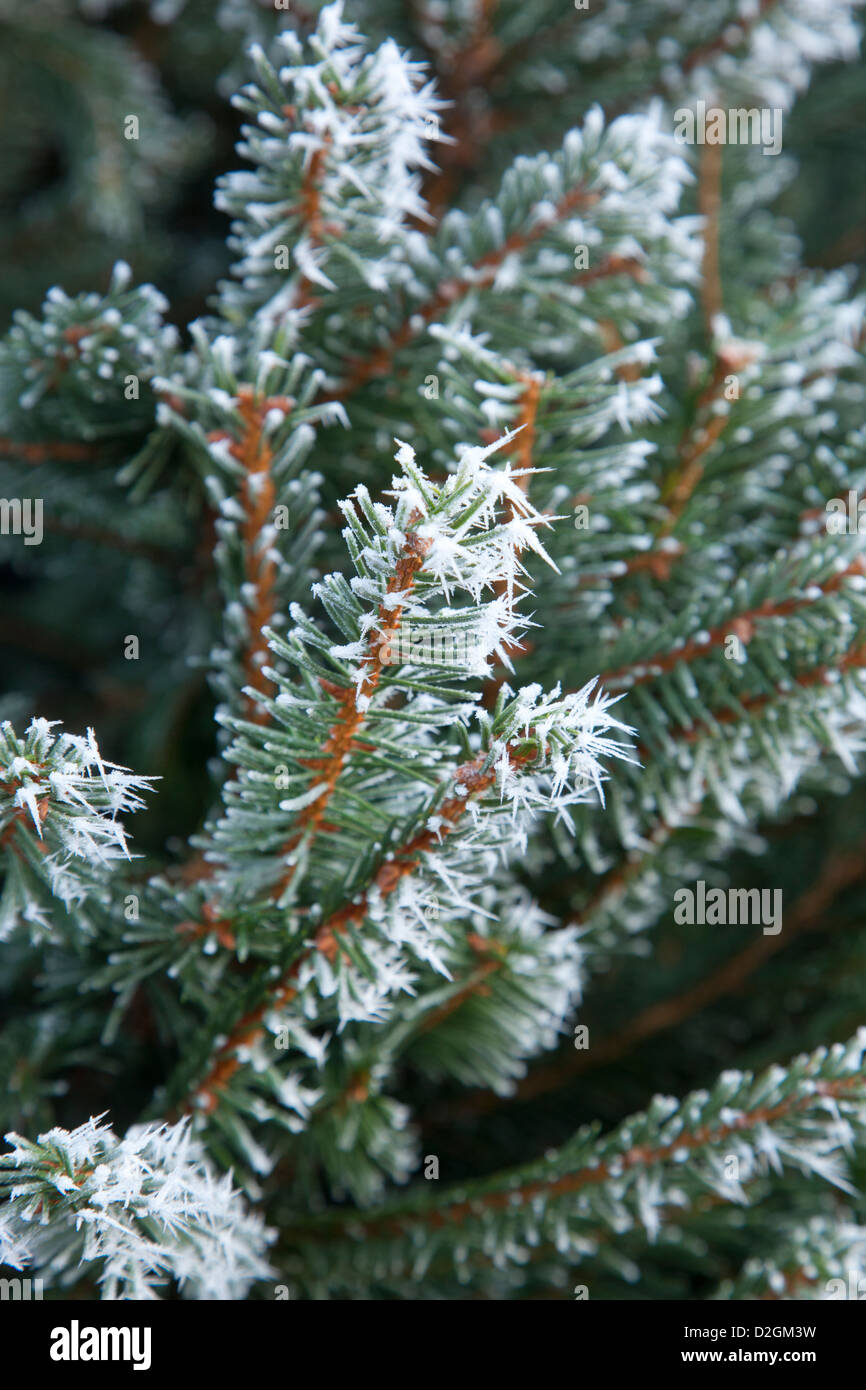 Close-up of frost on conifer Christmas tree - Stock Image
