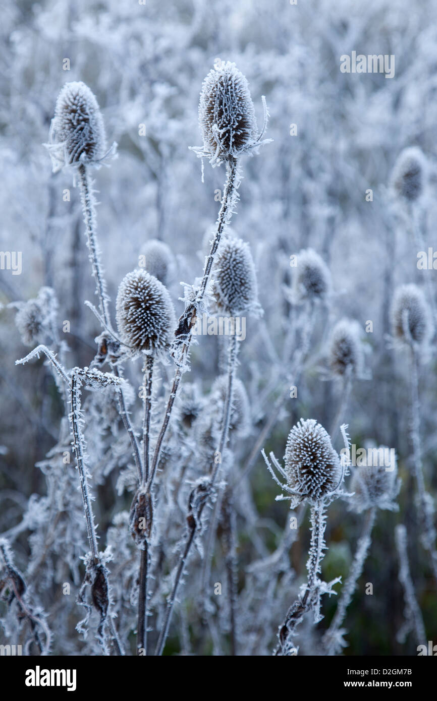 Teasel wildflower seedheads covered in Hoar Frost - Stock Image