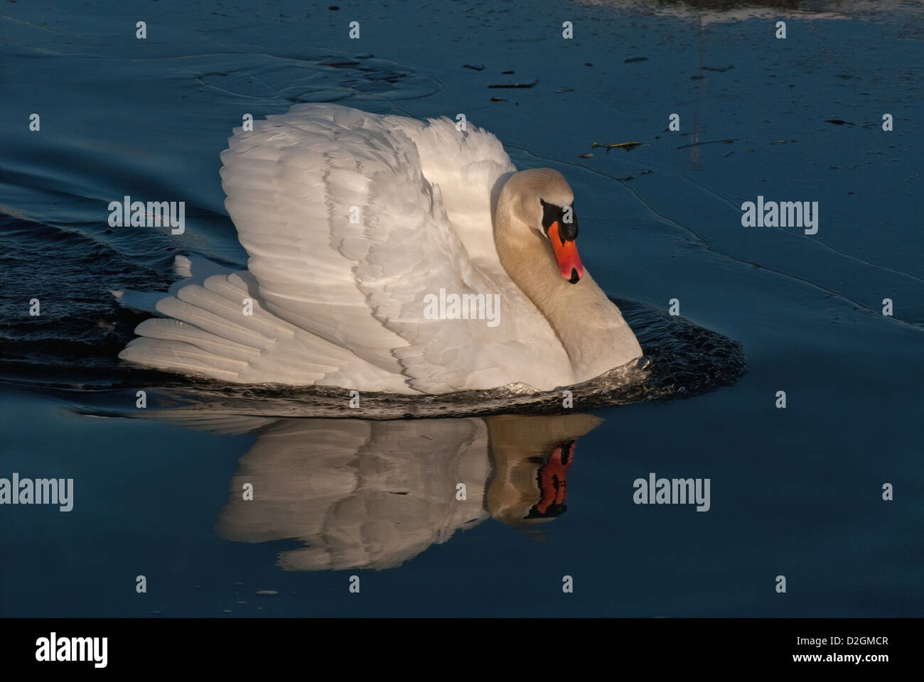 Adult male Mute Swan in aggressive pose - Stock Image