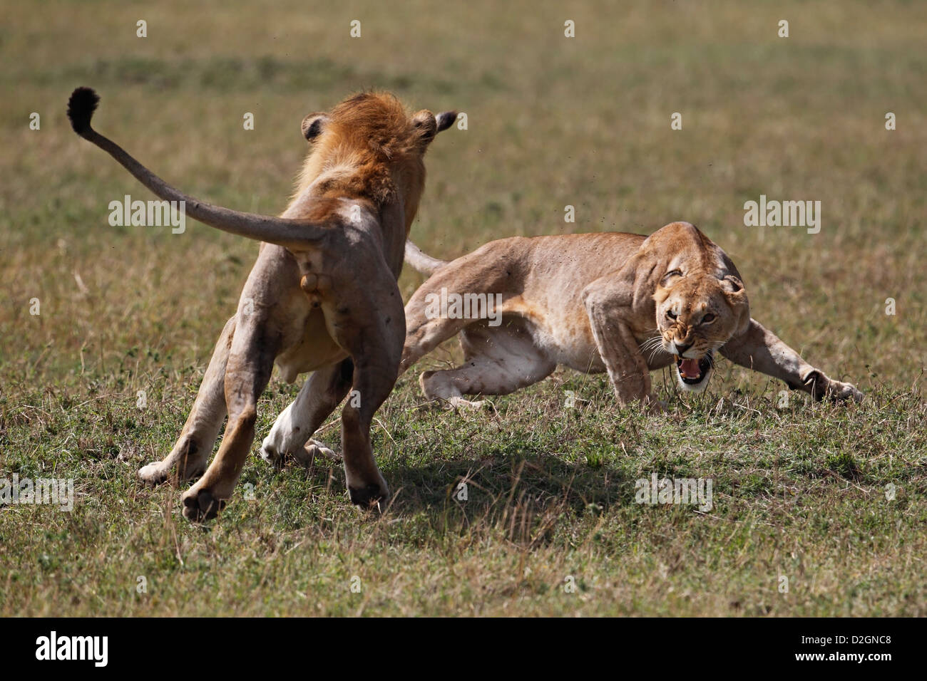 Fighting lions, agression, portrait. Kenya. - Stock Image