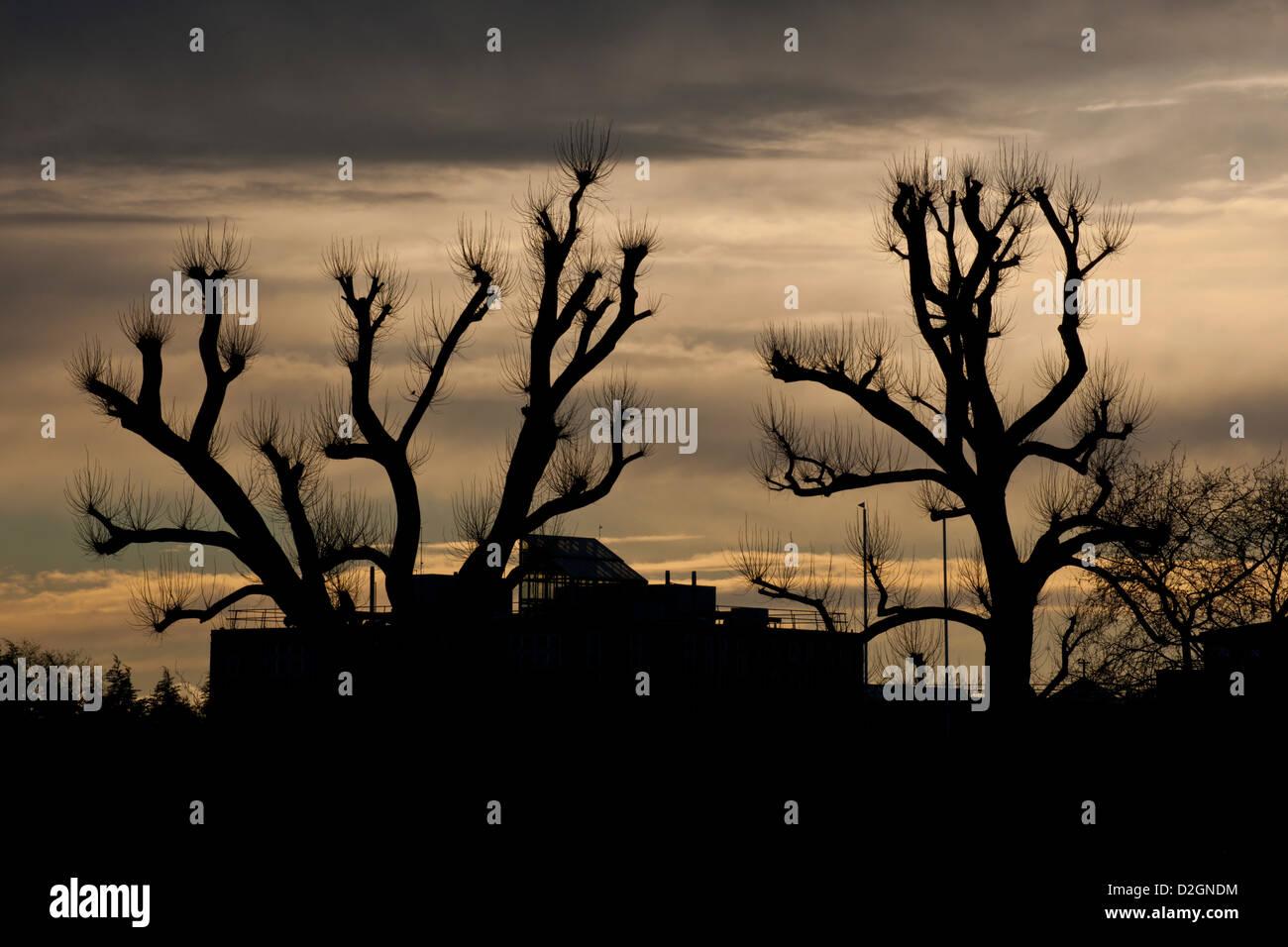 pollard trees in urban setting - Stock Image