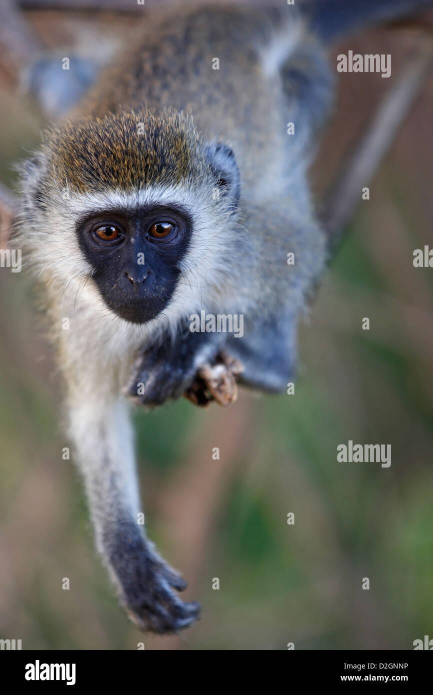 Curious Vervet Monkey, Samburu National Reserve, Kenya, Kenia, Africa, Afrika - Stock Image