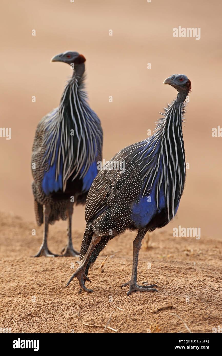 two vulturine guineafowls, acryllium vulturinum, Samburu Game Reserve, Kenya, Kenia. - Stock Image