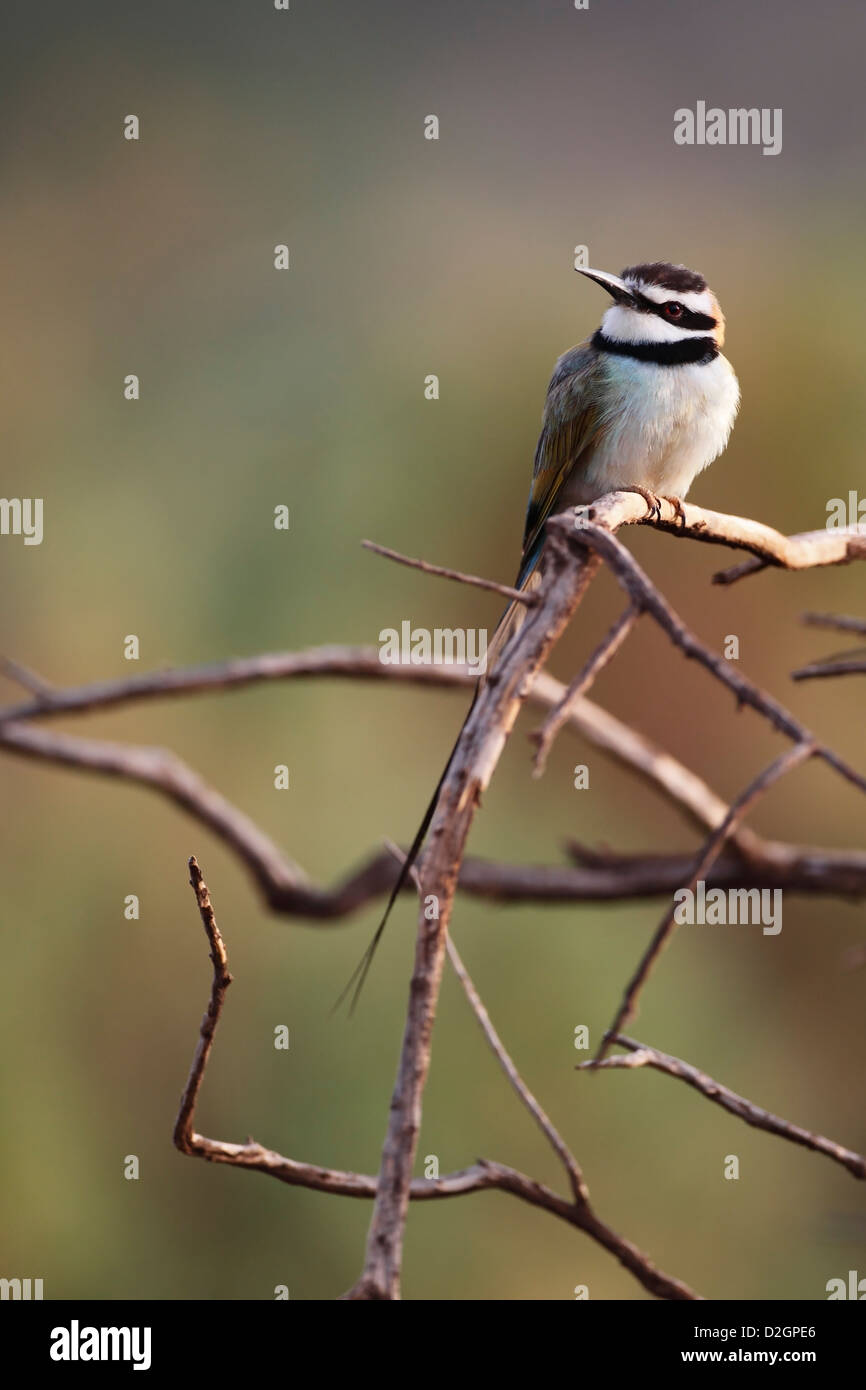 White Throated Bee-eater Merops albicollis hunitng insects from perch at Samburu NR Kenya East Africa - Stock Image