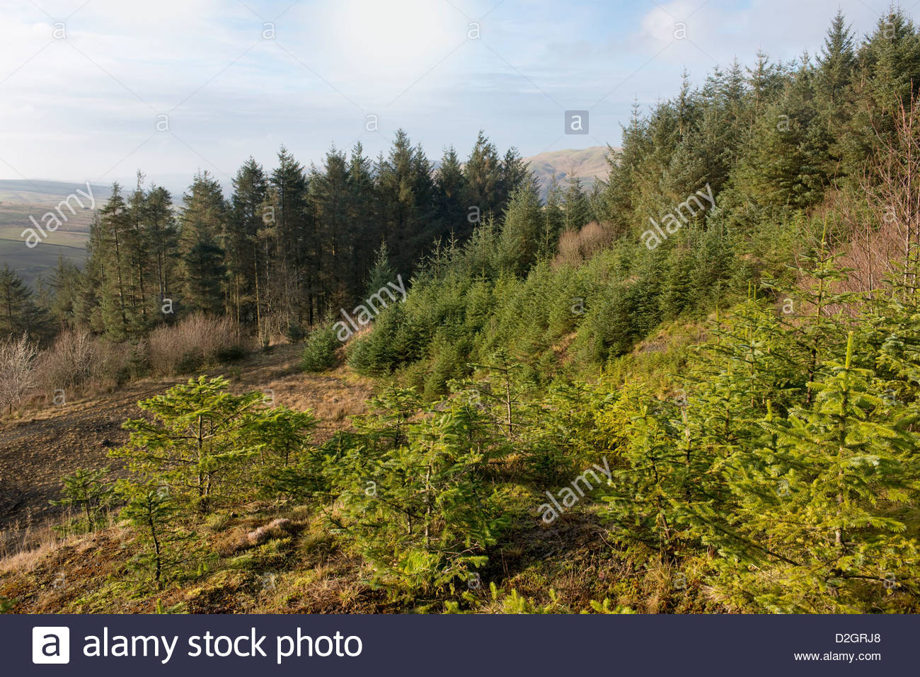 Commercial forest in South Ayrshire, Scotland showing saplings through to mature trees - Stock Image