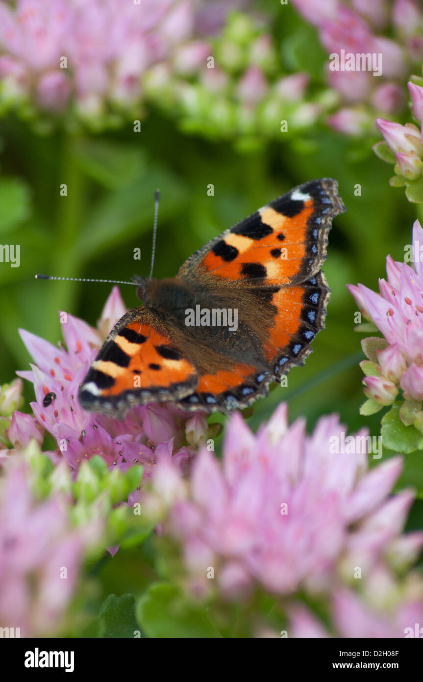 butterfly on pink flower with it's wings open - Stock Image