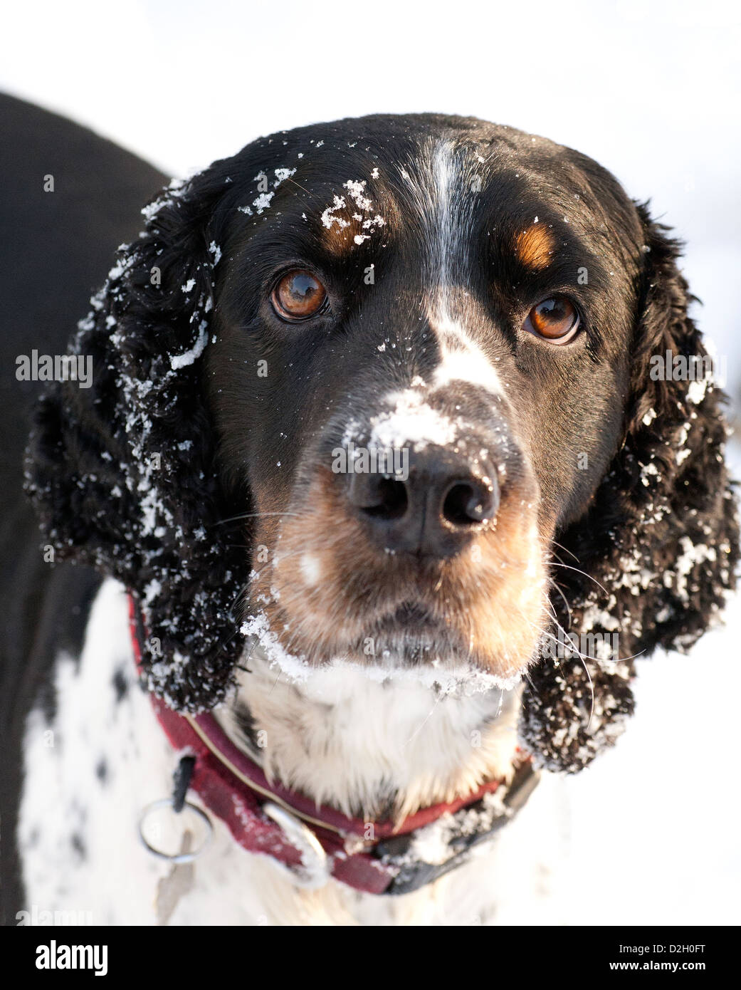 Snow dog. A springer spaniel dog who enjoys the delights of winter snowfall, playing out and rolling in the snow - Stock Image