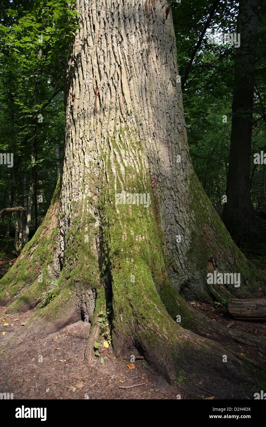 Bialowieza, Poland, tree trunk of an old oak tree in the Bialowieza National Park Stock Photo