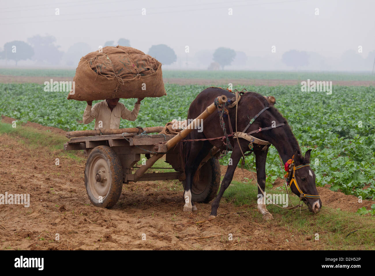 india, Uttar Pradesh, farmer carrying hessian sack full of crop to horse and cart in field - Stock Image