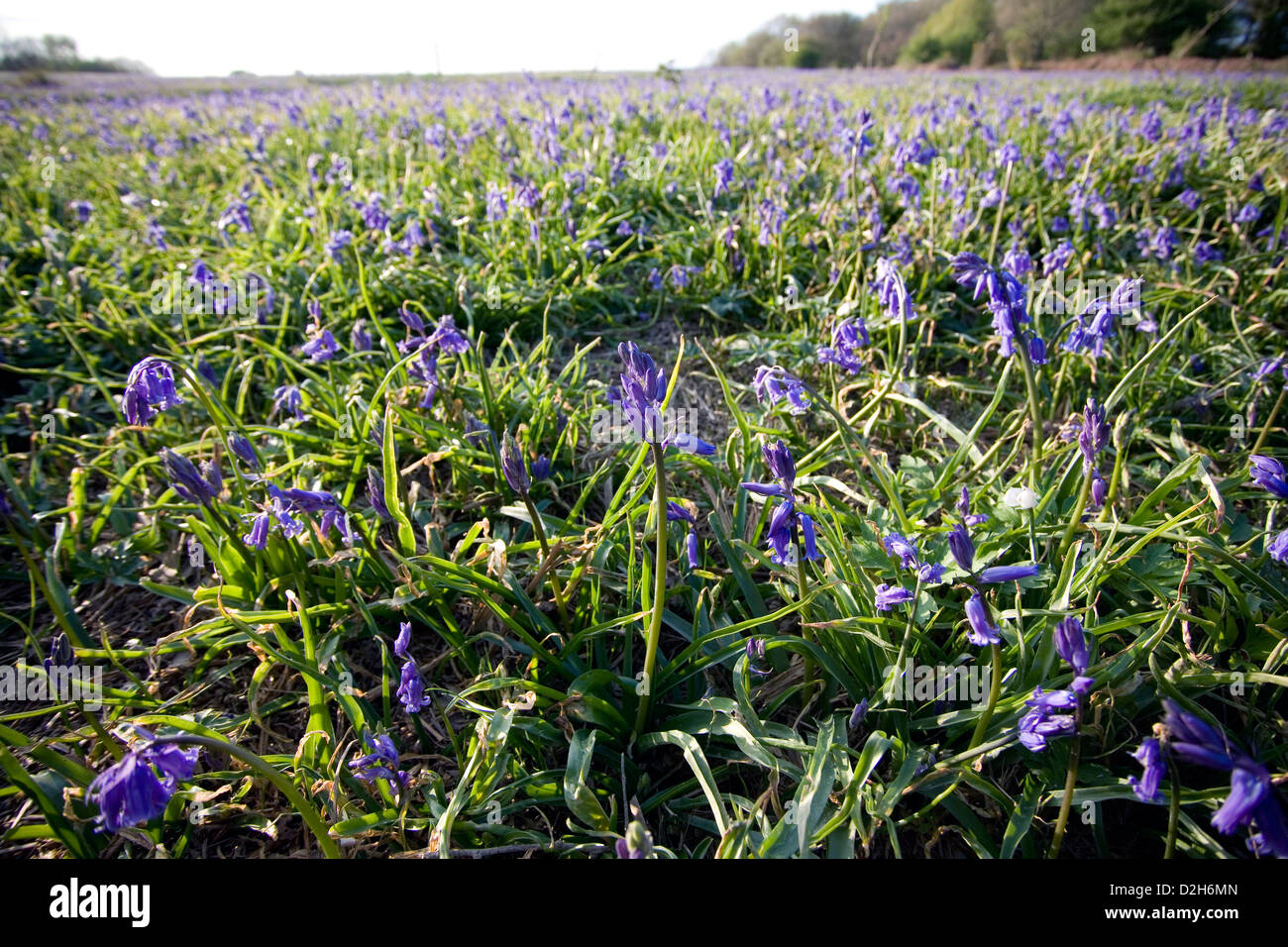 An open field of Bluebell flowers in Spring time in the South East of England. - Stock Image