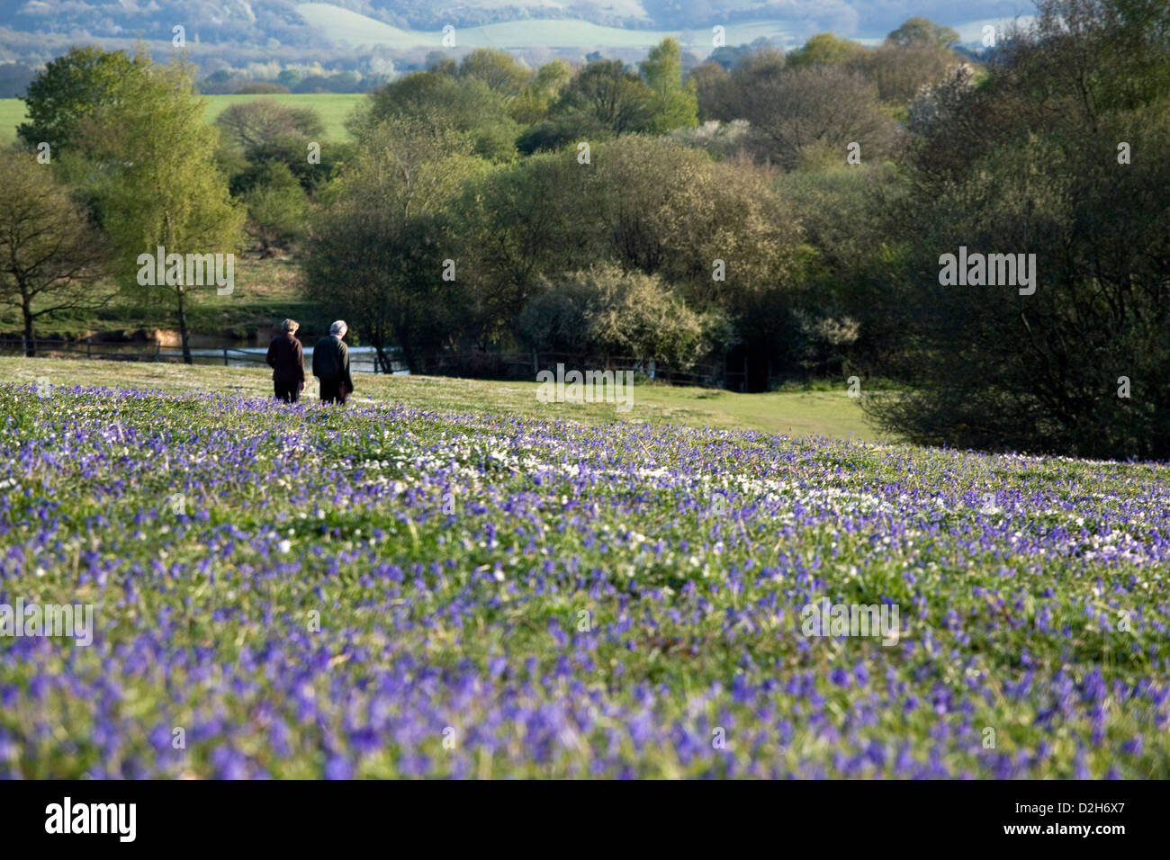 An Open Field Of Bluebell Flowers In Spring Time In The South East
