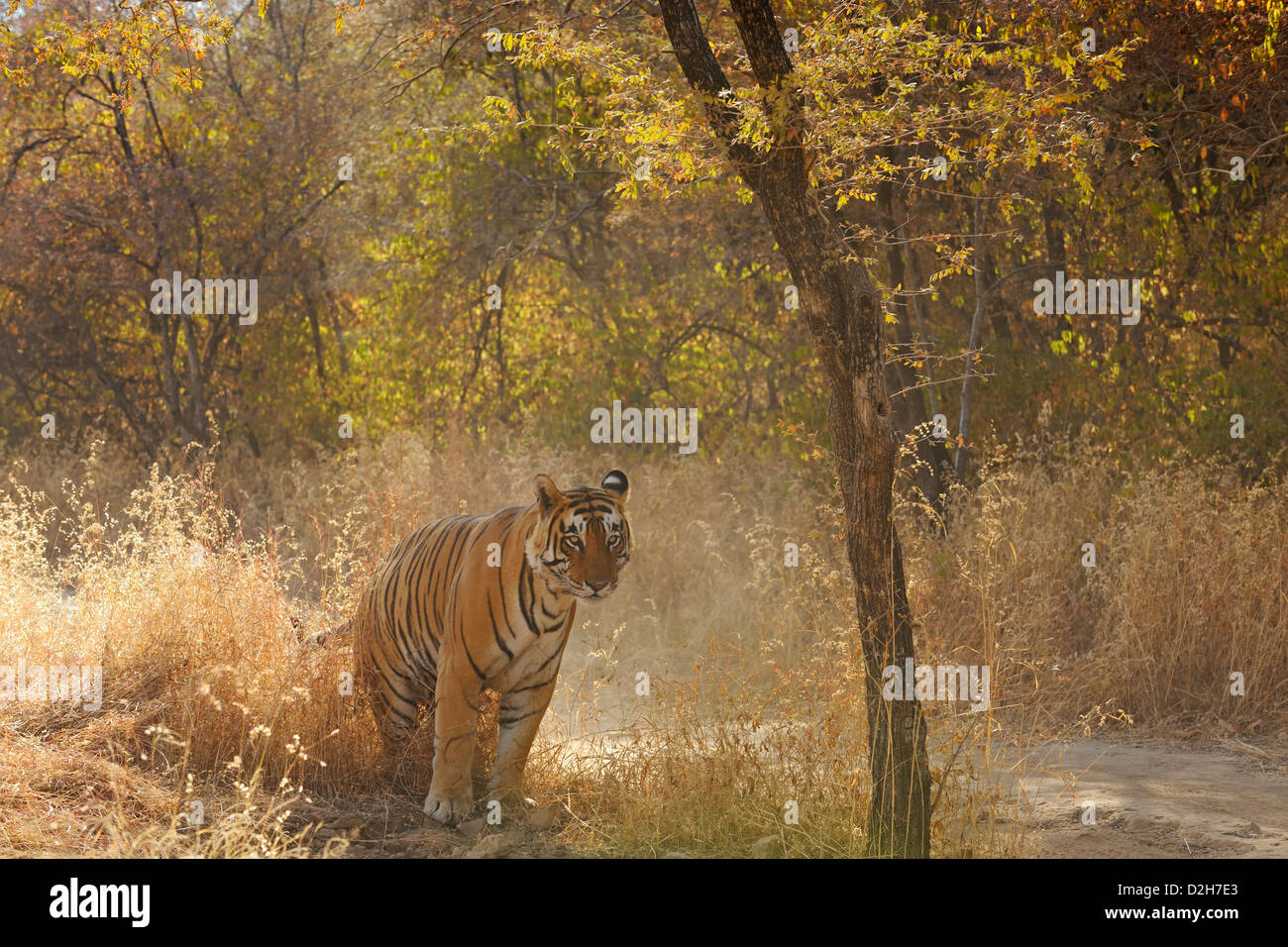 Tiger in the dry grasses of Ranthambore tiger reserve - Stock Image