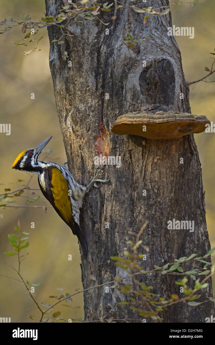 White-naped Woodpecker (Chrysocolaptes festivus) on a tree truunk in Ranthambore - Stock Image