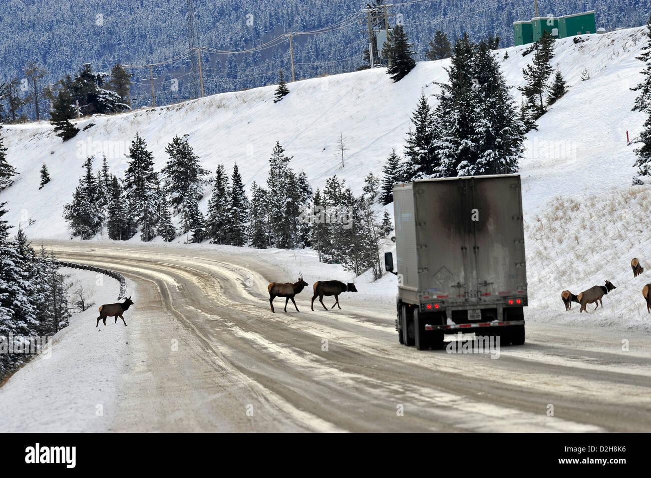 A herd of elk crossing the road. - Stock Image