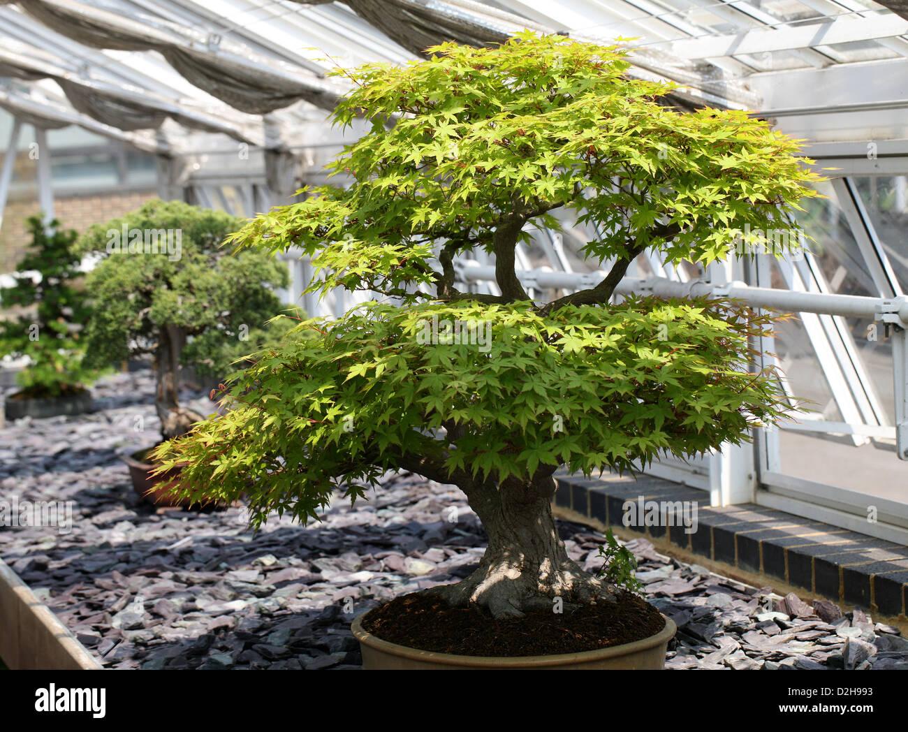 Japanese Maple Bonsai Trees Stock Photos Japanese Maple Bonsai